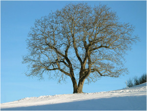 baum-im-winter